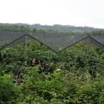 Plantation de kiwis