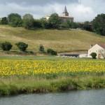 Premier champ de tournesols en fleurs