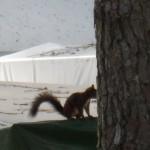 Image volée de l'écureuil qui passait de hutte en hutte !